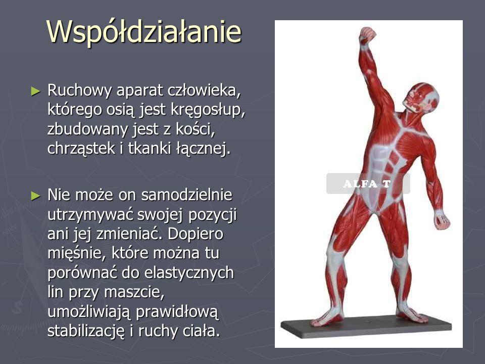 Współdziałanie ► Ruchowy aparat człowieka, którego osią jest kręgosłup, zbudowany jest z kości, chrząstek i tkanki łącznej.