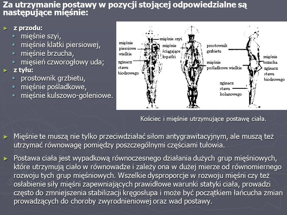 ► z przodu:  mięśnie szyi,  mięśnie klatki piersiowej,  mięśnie brzucha,  mięsień czworogłowy uda; ► z tyłu:  prostownik grzbietu,  mięśnie pośladkowe,  mięśnie kulszowo-goleniowe.