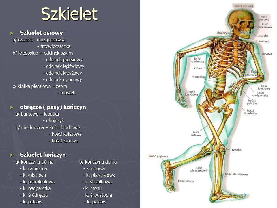 Szkielet ► Szkielet osiowy a/ czaszka- mózgoczaszka a/ czaszka- mózgoczaszka - trzewioczaszka - trzewioczaszka b/ kręgosłup – odcinek szyjny b/ kręgosłup – odcinek szyjny - odcinek piersiowy - odcinek piersiowy - odcinek lędźwiowy - odcinek lędźwiowy - odcinek krzyżowy - odcinek krzyżowy - odcinek ogonowy - odcinek ogonowy c/ klatka piersiowa – żebra c/ klatka piersiowa – żebra - mostek - mostek ► obręcze ( pasy) kończyn a/ barkowa – łopatka a/ barkowa – łopatka - obojczyk - obojczyk b/ miedniczna – kości biodrowe b/ miedniczna – kości biodrowe - kości kulszowe - kości kulszowe - kości łonowe - kości łonowe ► Szkielet kończyn a/ kończyna górna b/ kończyna dolna a/ kończyna górna b/ kończyna dolna - k.