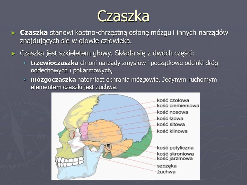 Czaszka ► Czaszka stanowi kostno-chrzęstną osłonę mózgu i innych narządów znajdujących się w głowie człowieka.