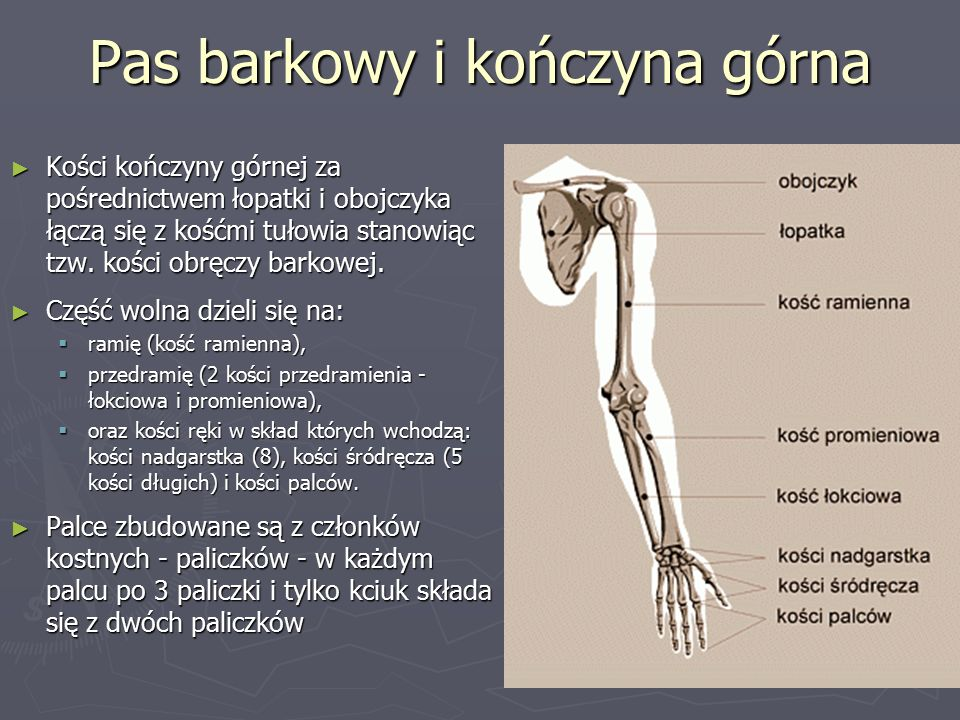 Pas barkowy i kończyna górna ► Kości kończyny górnej za pośrednictwem łopatki i obojczyka łączą się z kośćmi tułowia stanowiąc tzw.