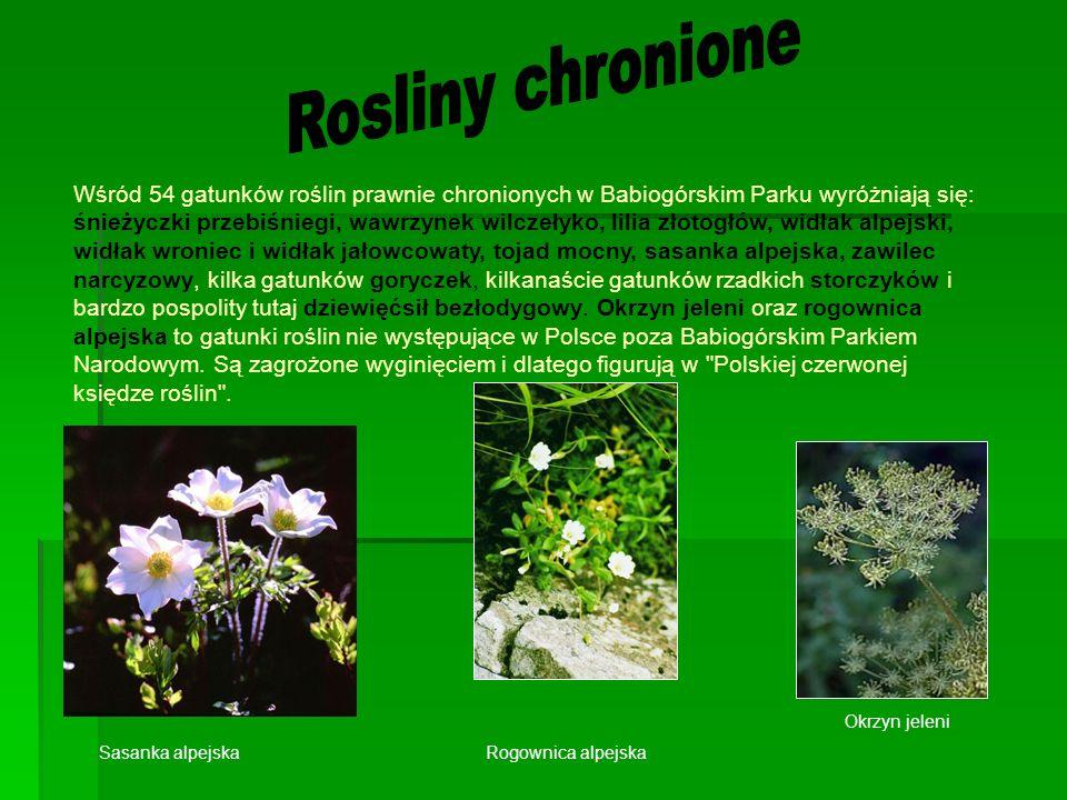 Wśród 54 gatunków roślin prawnie chronionych w Babiogórskim Parku wyróżniają się: śnieżyczki przebiśniegi, wawrzynek wilczełyko, lilia złotogłów, widłak alpejski, widłak wroniec i widłak jałowcowaty, tojad mocny, sasanka alpejska, zawilec narcyzowy, kilka gatunków goryczek, kilkanaście gatunków rzadkich storczyków i bardzo pospolity tutaj dziewięćsił bezłodygowy.