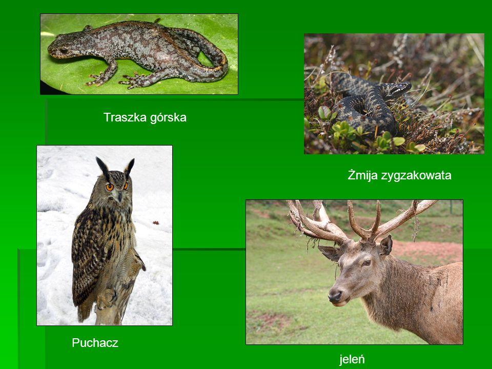 Traszka górska Żmija zygzakowata Puchacz jeleń