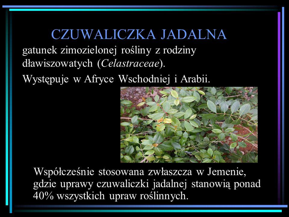 CZUWALICZKA JADALNA gatunek zimozielonej rośliny z rodziny dławiszowatych (Celastraceae).