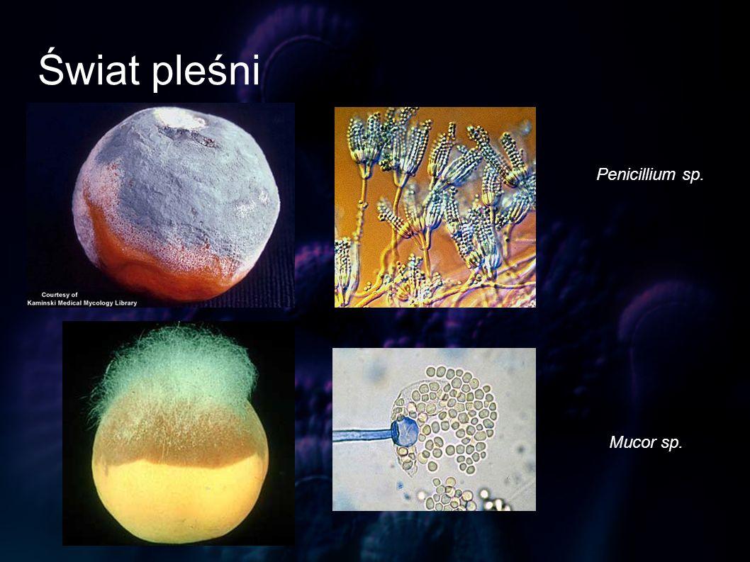 Świat pleśni Penicillium sp. Mucor sp.