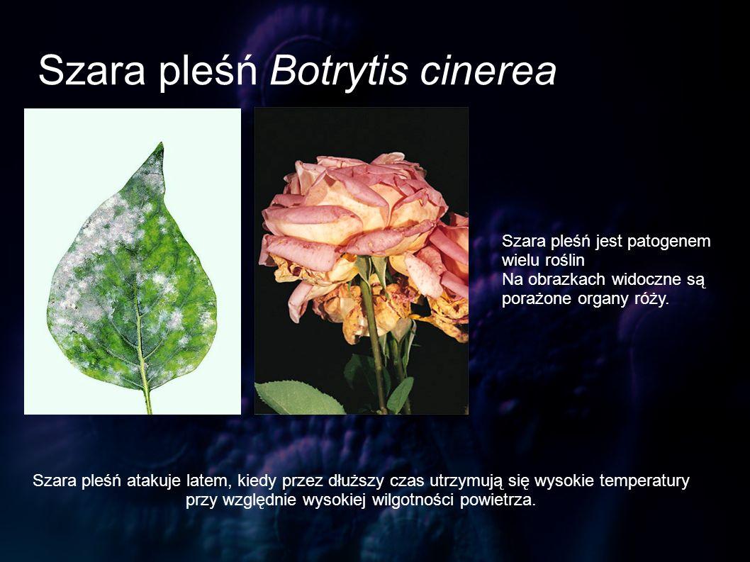 Szara pleśń Botrytis cinerea Szara pleśń jest patogenem wielu roślin Na obrazkach widoczne są porażone organy róży. Szara pleśń atakuje latem, kiedy p