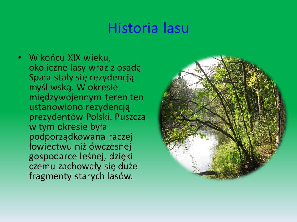 Historia lasu W końcu XIX wieku, okoliczne lasy wraz z osadą Spała stały się rezydencją myśliwską.
