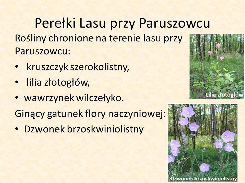 Perełki Lasu przy Paruszowcu Rośliny chronione na terenie lasu przy Paruszowcu: kruszczyk szerokolistny, lilia złotogłów, wawrzynek wilczełyko.