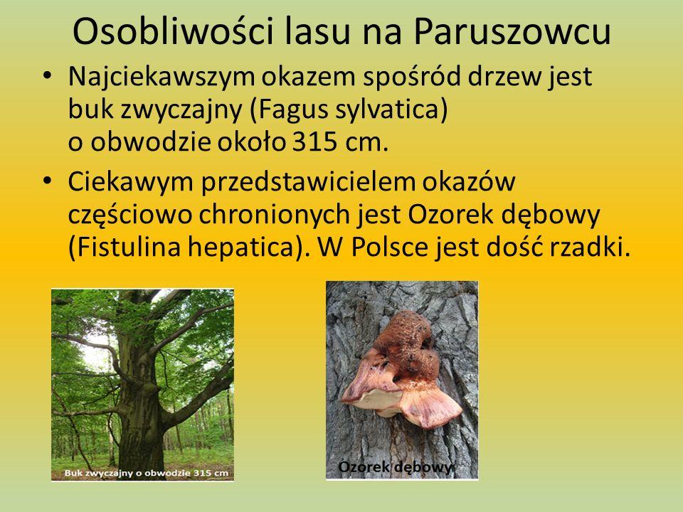 Osobliwości lasu na Paruszowcu Najciekawszym okazem spośród drzew jest buk zwyczajny (Fagus sylvatica) o obwodzie około 315 cm.