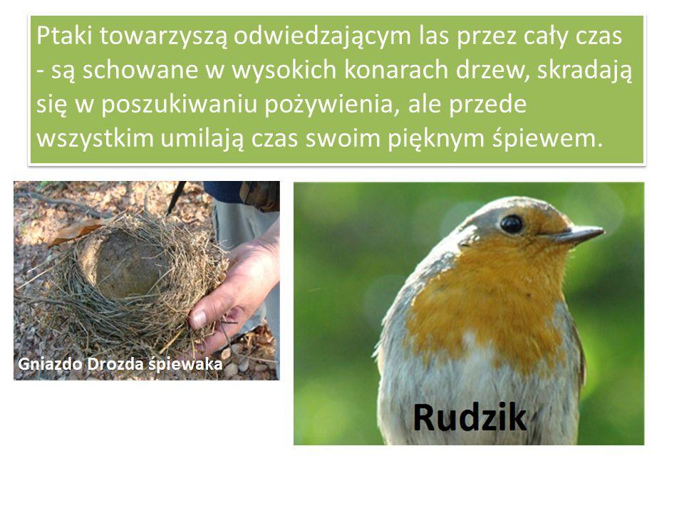 Ptaki towarzyszą odwiedzającym las przez cały czas - są schowane w wysokich konarach drzew, skradają się w poszukiwaniu pożywienia, ale przede wszystkim umilają czas swoim pięknym śpiewem.