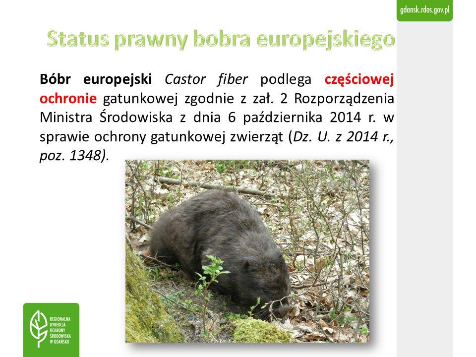 Bóbr europejski Castor fiber podlega częściowej ochronie gatunkowej zgodnie z zał. 2 Rozporządzenia Ministra Środowiska z dnia 6 października 2014 r.