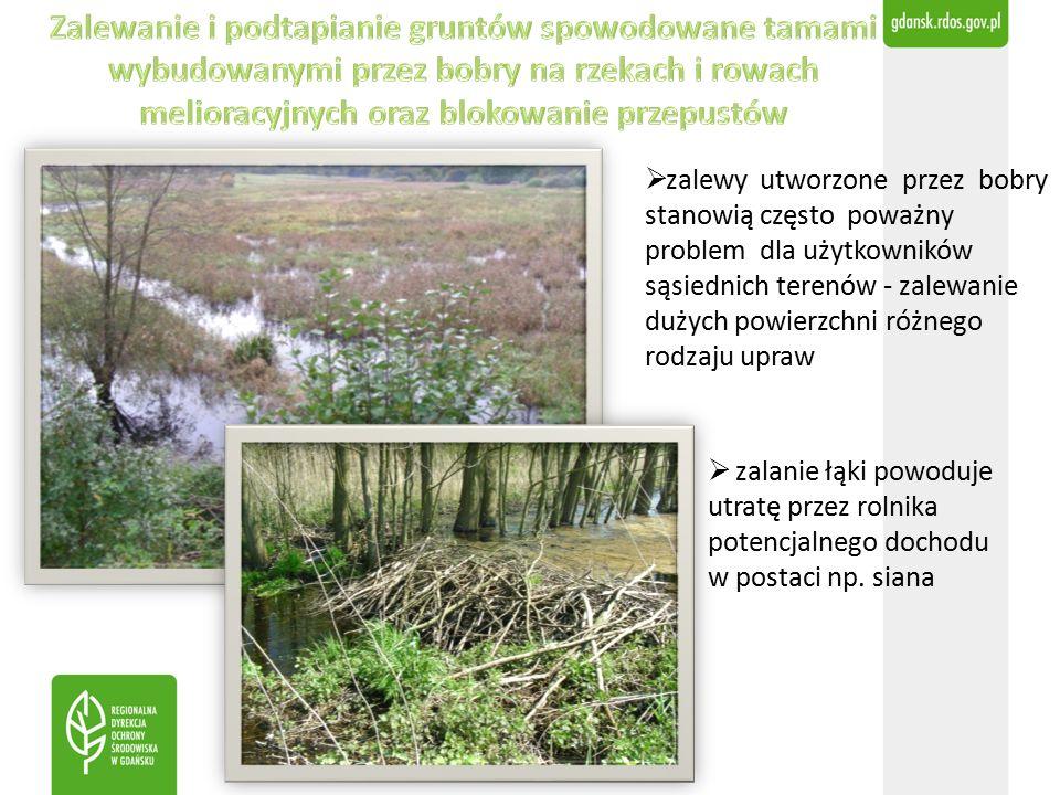  zalewy utworzone przez bobry stanowią często poważny problem dla użytkowników sąsiednich terenów - zalewanie dużych powierzchni różnego rodzaju upraw  zalanie łąki powoduje utratę przez rolnika potencjalnego dochodu w postaci np.