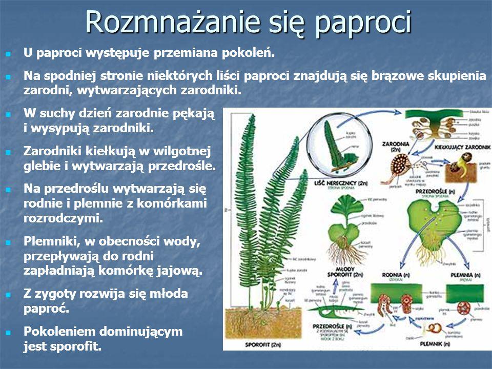 Paprocie chronione w Polsce Paprocie chronione w Polsce Języcznik zwyczajny Długosz królewski Pióropusznik strusi