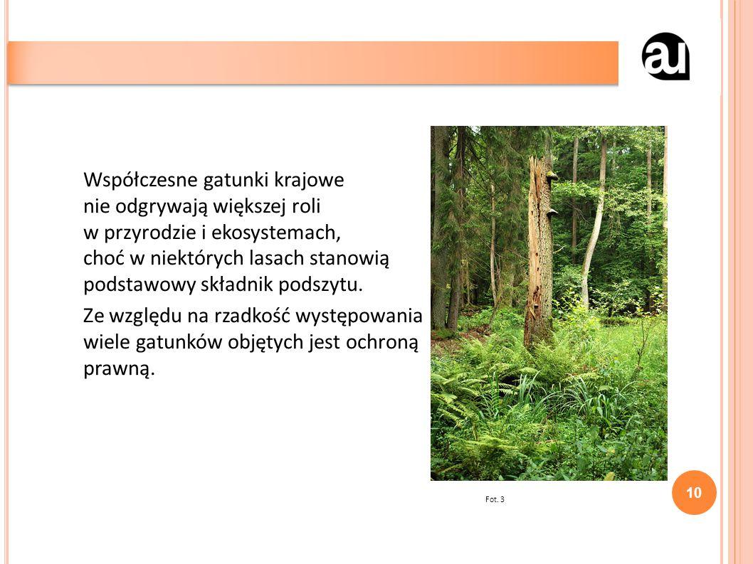 Współczesne gatunki krajowe nie odgrywają większej roli w przyrodzie i ekosystemach, choć w niektórych lasach stanowią podstawowy składnik podszytu.