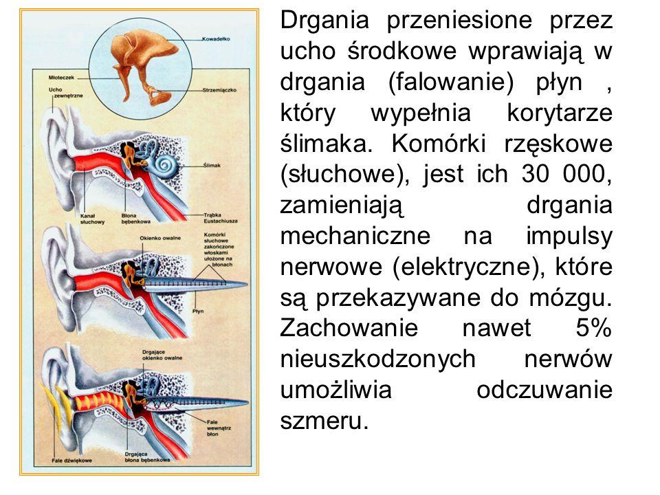 Działanie Drgania przeniesione przez ucho środkowe wprawiają w drgania (falowanie) płyn, który wypełnia korytarze ślimaka. Komórki rzęskowe (słuchowe)