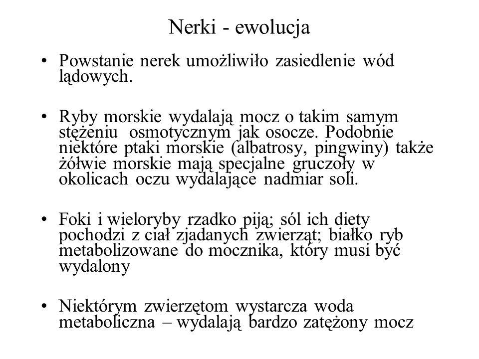 Nerki - ewolucja Powstanie nerek umożliwiło zasiedlenie wód lądowych.