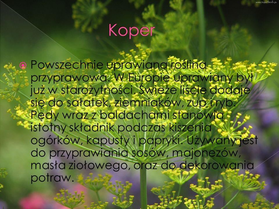  Powszechnie uprawiana roślina przyprawowa. W Europie uprawiany był już w starożytności.