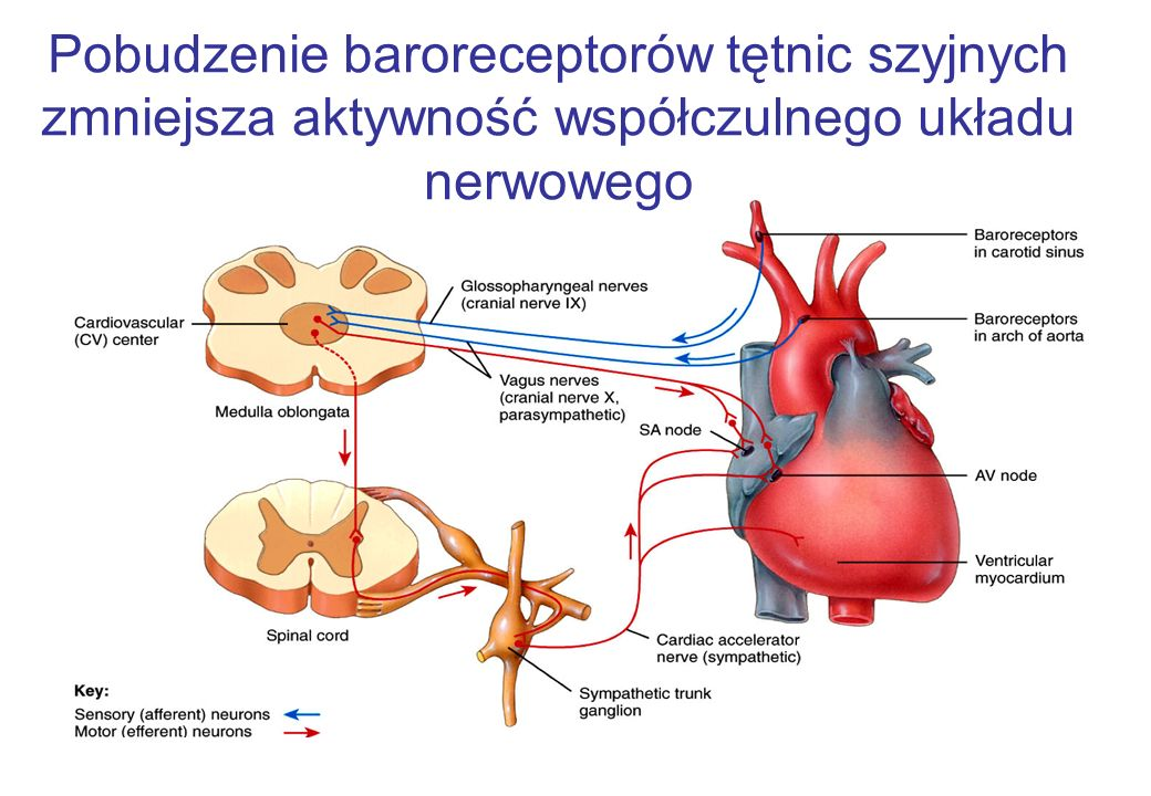 Pobudzenie baroreceptorów tętnic szyjnych zmniejsza aktywność współczulnego układu nerwowego