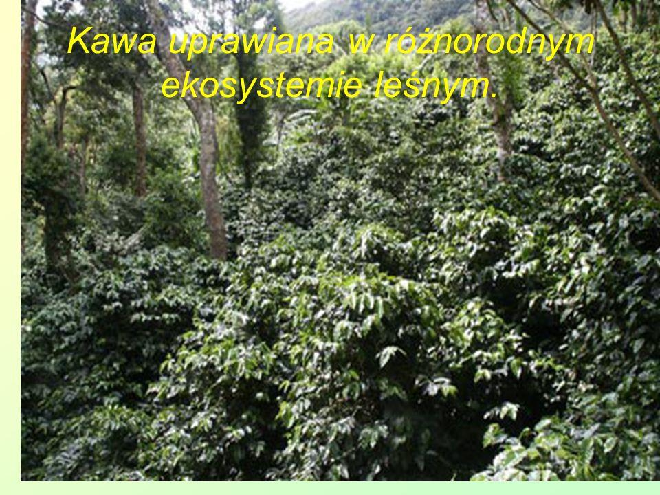 Kawa uprawiana w różnorodnym ekosystemie leśnym.