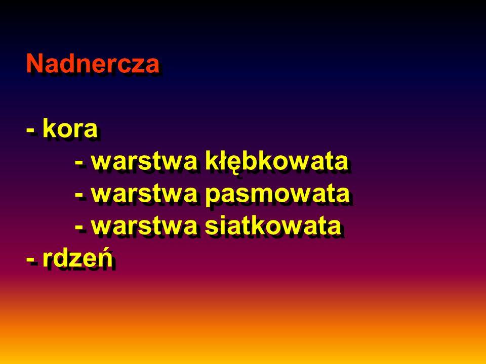Nadnercza - kora - warstwa kłębkowata - warstwa pasmowata - warstwa siatkowata - rdzeń