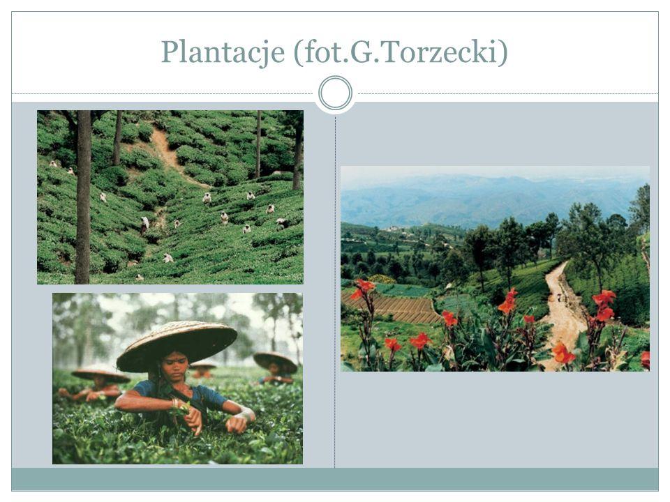 Herbata - produkcja Herbata jest wiecznie zieloną rośliną, ma skórzaste liście, małe, białe lub różowe wonne kwiaty i niewielkie brązowe zdrewniałe owoce.