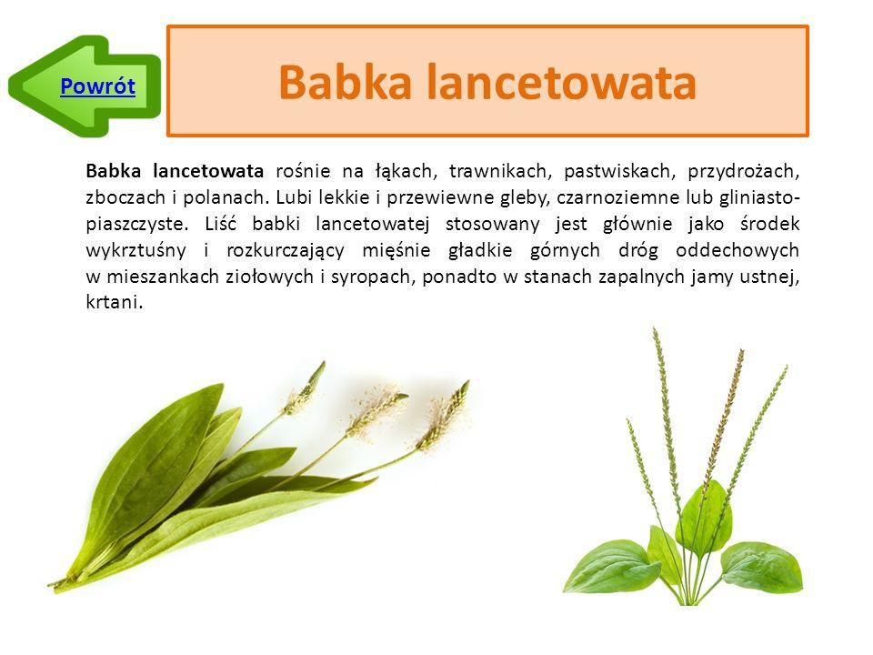 Babka lancetowata Babka lancetowata rośnie na łąkach, trawnikach, pastwiskach, przydrożach, zboczach i polanach.
