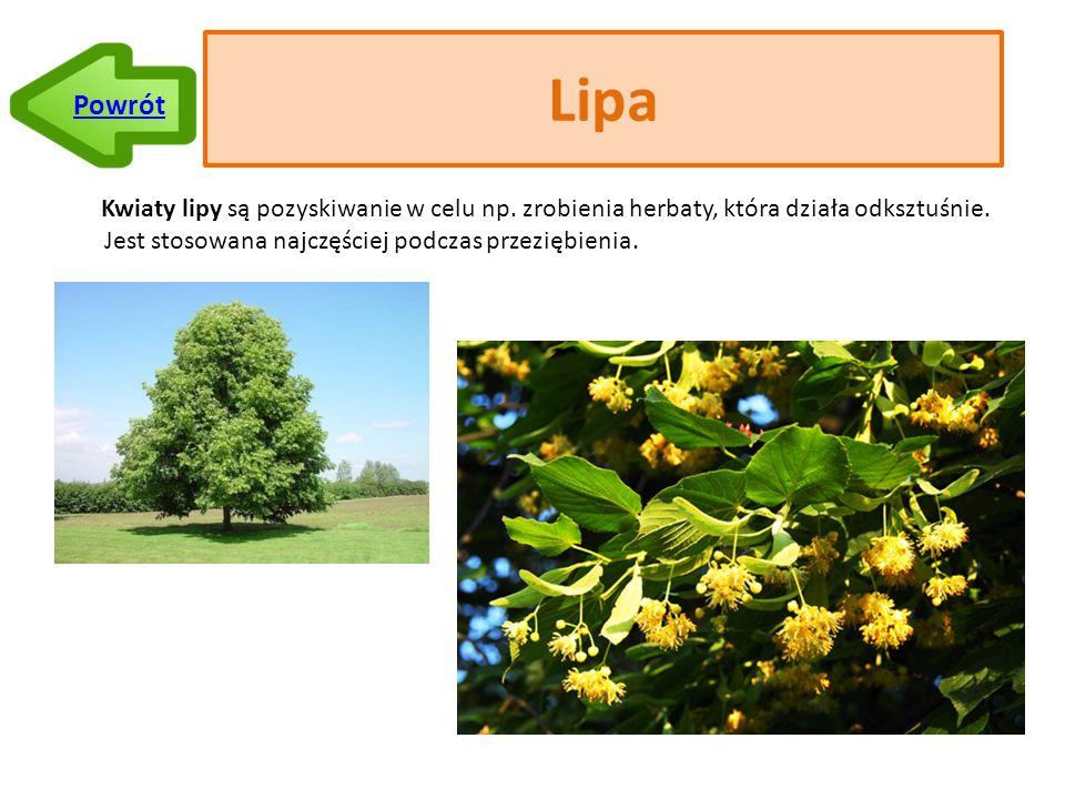 Lipa Kwiaty lipy są pozyskiwanie w celu np.zrobienia herbaty, która działa odksztuśnie.