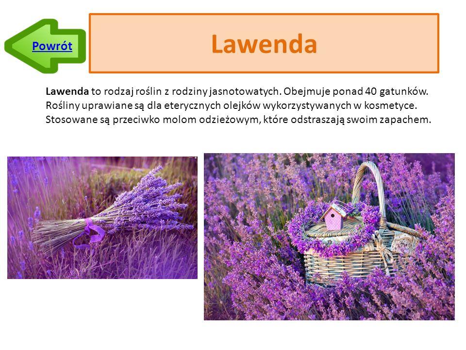 Lawenda Lawenda to rodzaj roślin z rodziny jasnotowatych.