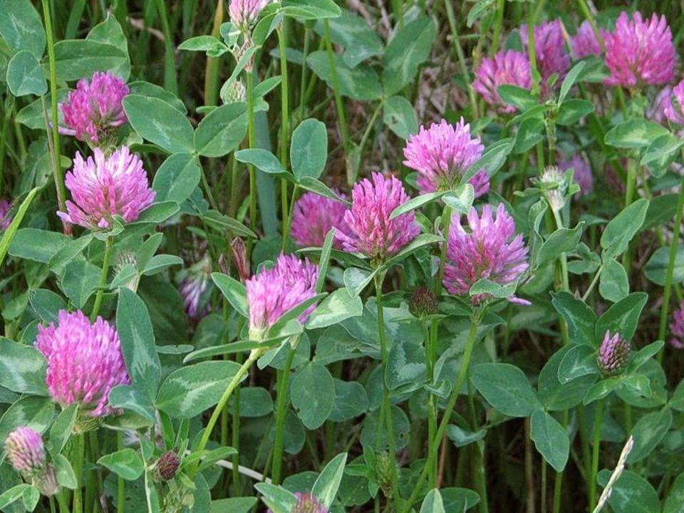 Koniczyna biała (Trifolium repens L.) i Koniczyna łąkowa (Trifolium pratense) Kwiaty można dodawać do sałatek i surówek.