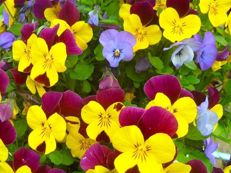 są bardzo delikatnymi kwiatami, najczęściej w kolorze fioletu, boczne i dolny – żółte.
