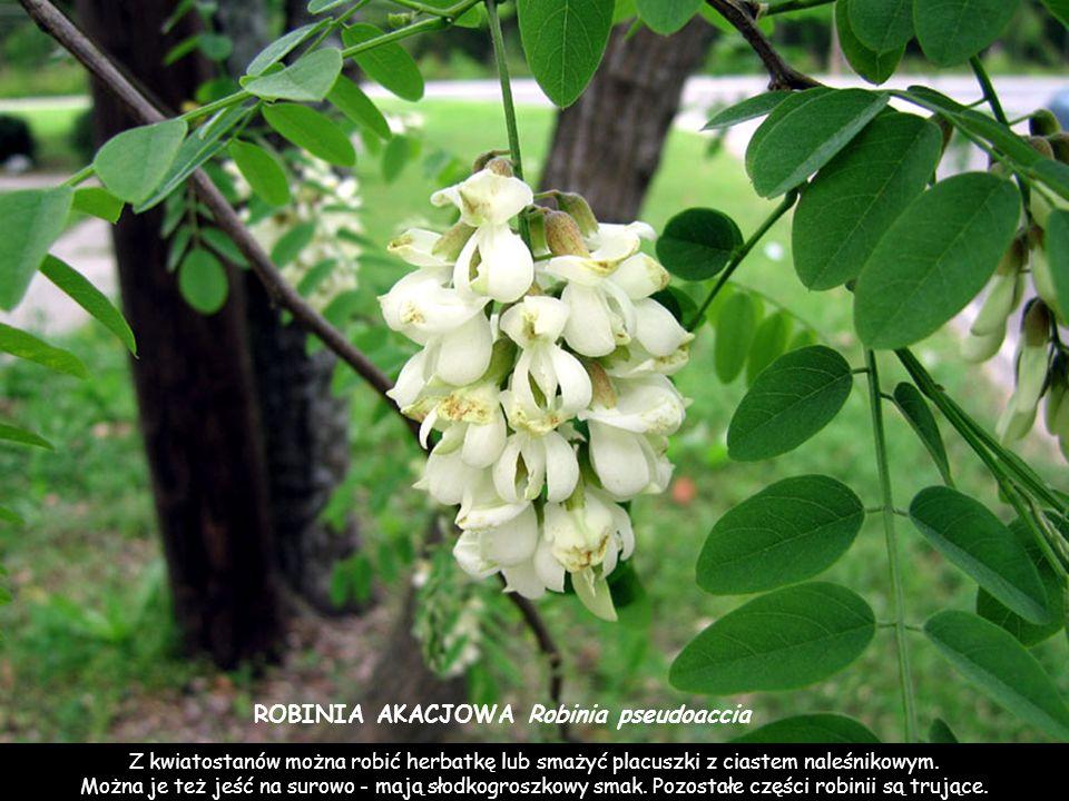ROBINIA AKACJOWA Robinia pseudoaccia Z kwiatostanów można robić herbatkę lub smażyć placuszki z ciastem naleśnikowym.