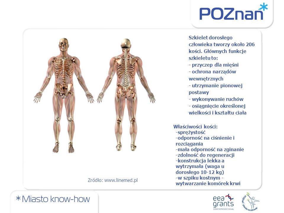 Szkielet dorosłego człowieka tworzy około 206 kości.