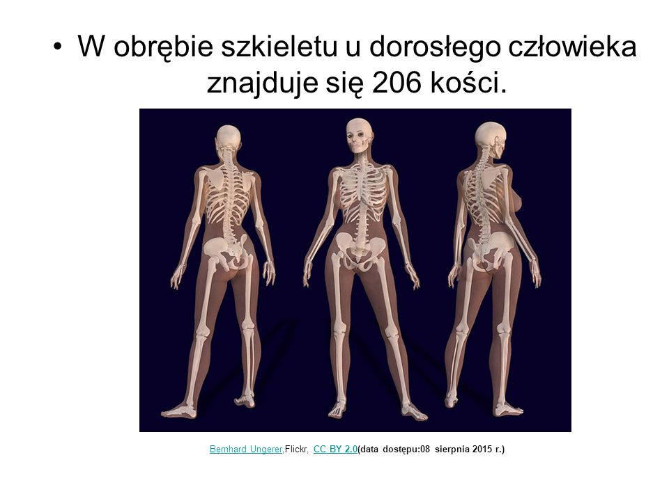 W obrębie szkieletu u dorosłego człowieka znajduje się 206 kości. Bernhard UngererBernhard Ungerer,Flickr, CC BY 2.0(data dostępu:08 sierpnia 2015 r.)