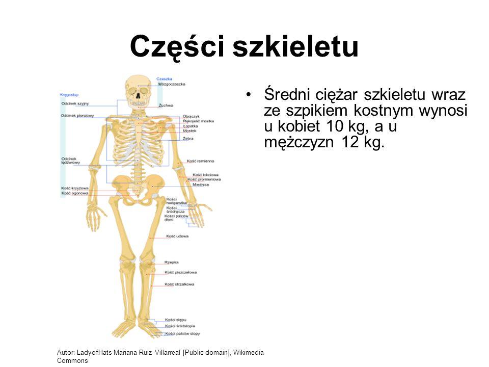 Części szkieletu Średni ciężar szkieletu wraz ze szpikiem kostnym wynosi u kobiet 10 kg, a u mężczyzn 12 kg. Autor: LadyofHats Mariana Ruiz Villarreal