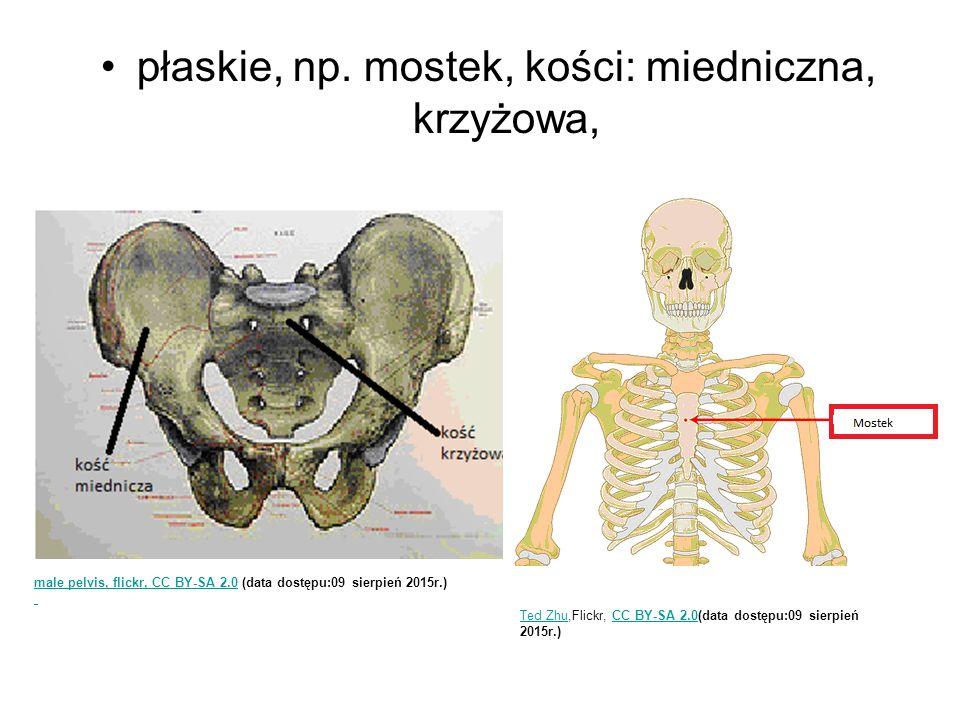 płaskie, np. mostek, kości: miedniczna, krzyżowa, male pelvis, flickr, CC BY-SA 2.0male pelvis, flickr, CC BY-SA 2.0 (data dostępu:09 sierpień 2015r.)