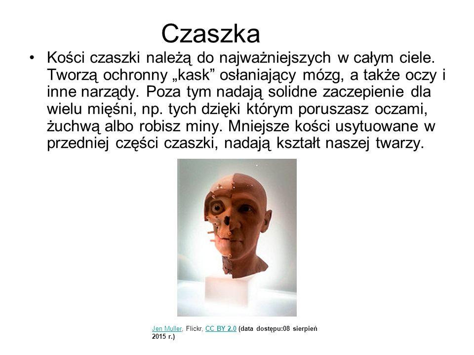 """Czaszka Kości czaszki należą do najważniejszych w całym ciele. Tworzą ochronny """"kask"""" osłaniający mózg, a także oczy i inne narządy. Poza tym nadają s"""