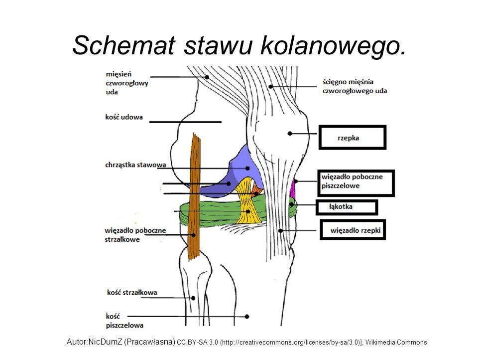 Schemat stawu kolanowego. Autor:NicDumZ (Pracawłasna) CC BY-SA 3.0 (http://creativecommons.org/licenses/by-sa/3.0)], Wikimedia Commons