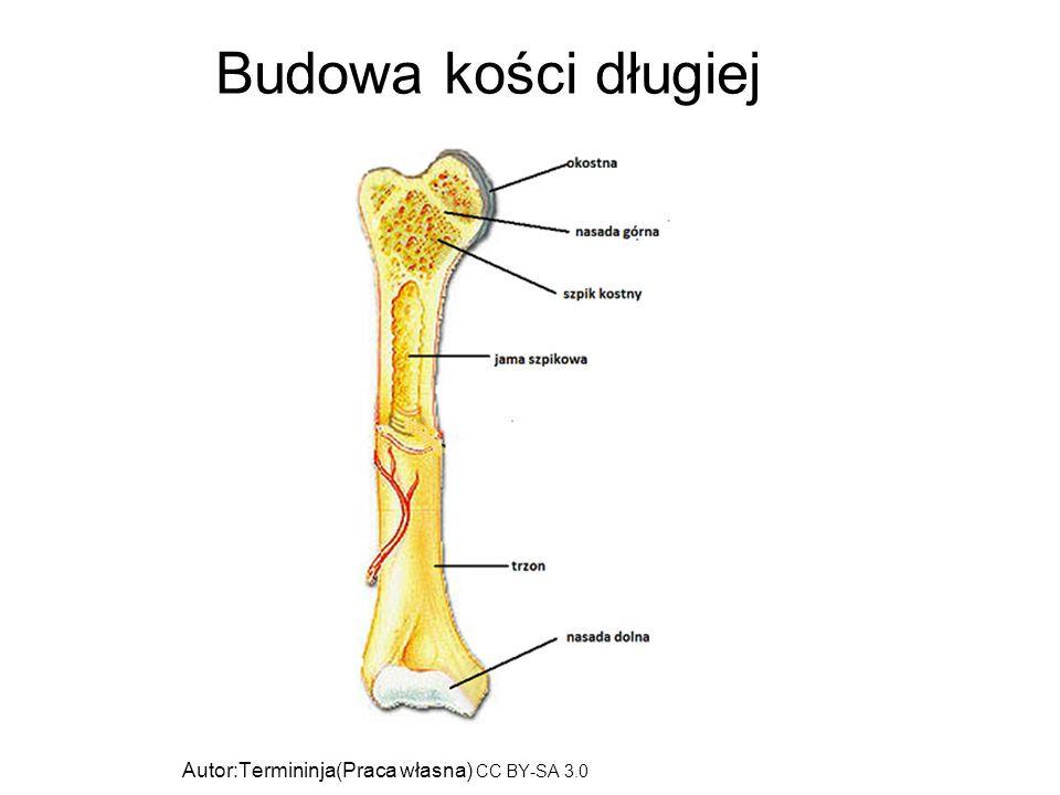 Budowa kości długiej Autor:Termininja(Praca własna) CC BY-SA 3.0 (http://creativecommons.org/licenses/by-sa/3.0)], Wikimedia Commons