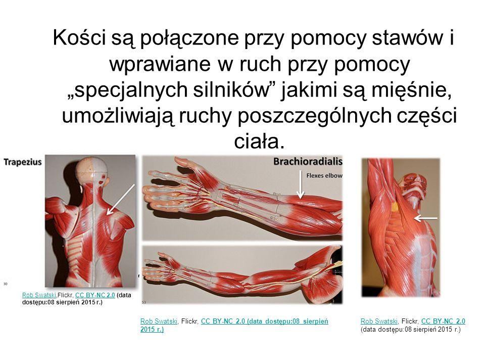 """Kości są połączone przy pomocy stawów i wprawiane w ruch przy pomocy """"specjalnych silników jakimi są mięśnie, umożliwiają ruchy poszczególnych części ciała."""