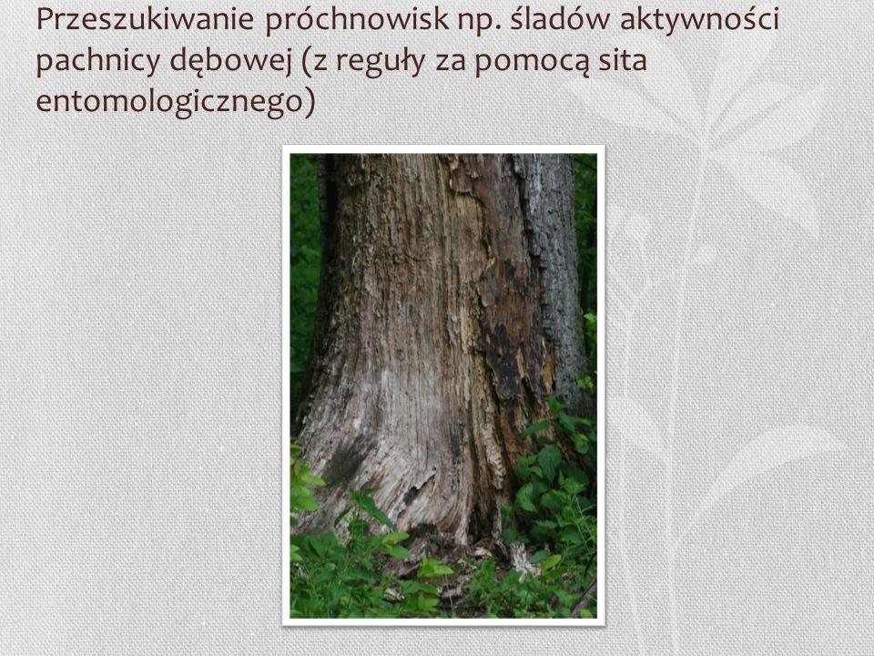 Przeszukiwanie próchnowisk np. śladów aktywności pachnicy dębowej (z reguły za pomocą sita entomologicznego)
