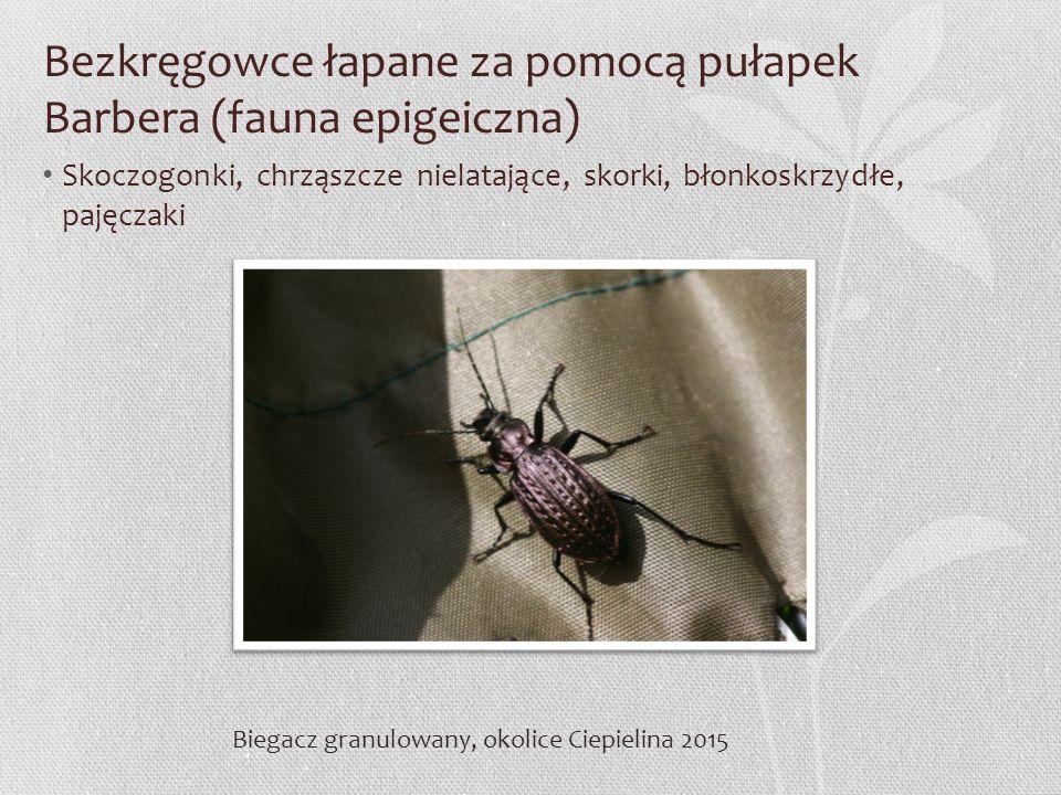 Bezkręgowce łapane za pomocą pułapek Barbera (fauna epigeiczna) Skoczogonki, chrząszcze nielatające, skorki, błonkoskrzydłe, pajęczaki Biegacz granulo