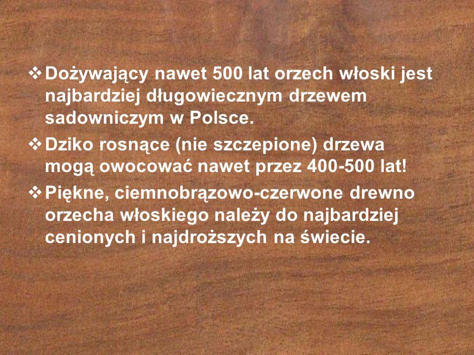  Dożywający nawet 500 lat orzech włoski jest najbardziej długowiecznym drzewem sadowniczym w Polsce.