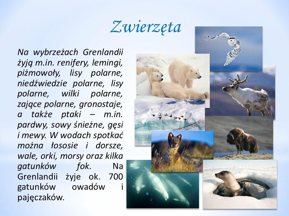 Zwierzęta Na wybrzeżach Grenlandii żyją m.in. renifery, lemingi, piżmowoły, lisy polarne, niedźwiedzie polarne, lisy polarne, wilki polarne, zające po