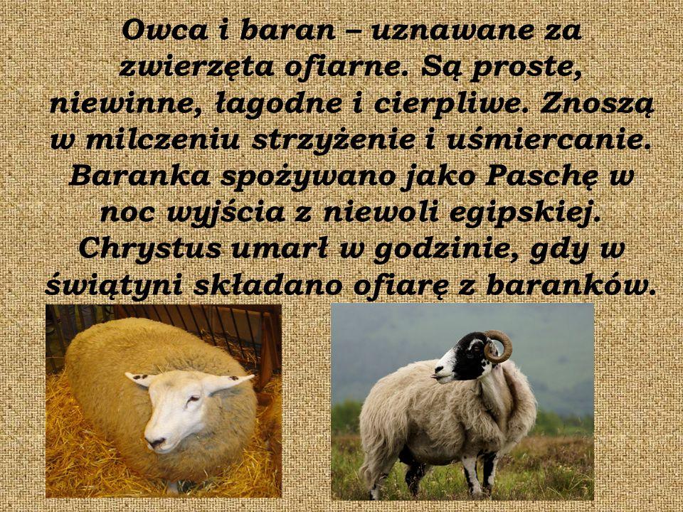 Owca i baran – uznawane za zwierzęta ofiarne. Są proste, niewinne, łagodne i cierpliwe.