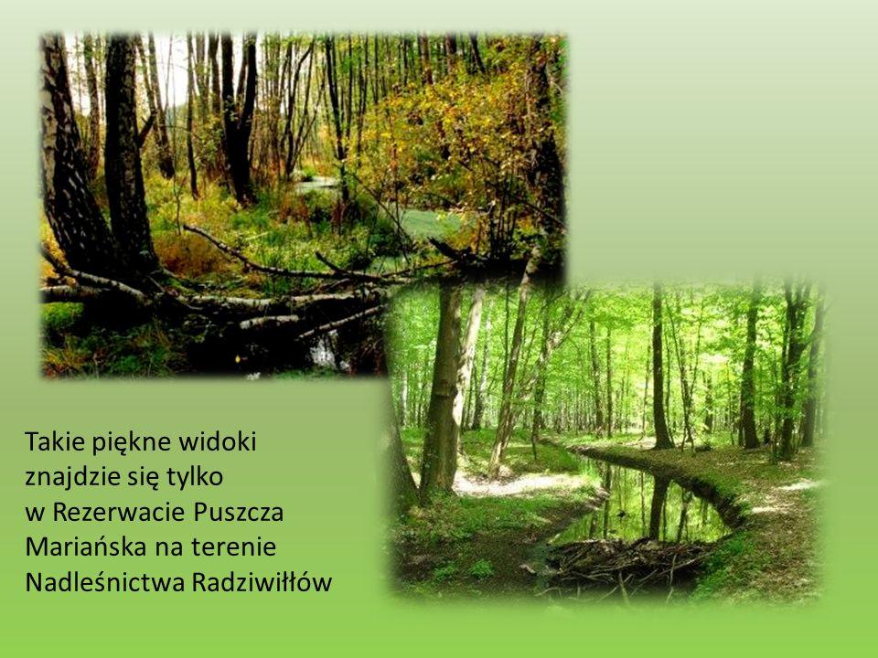 Takie piękne widoki znajdzie się tylko w Rezerwacie Puszcza Mariańska na terenie Nadleśnictwa Radziwiłłów