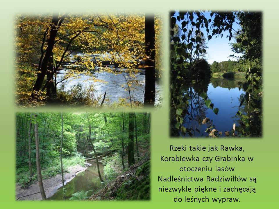 Rzeki takie jak Rawka, Korabiewka czy Grabinka w otoczeniu lasów Nadleśnictwa Radziwiłłów są niezwykle piękne i zachęcają do leśnych wypraw.