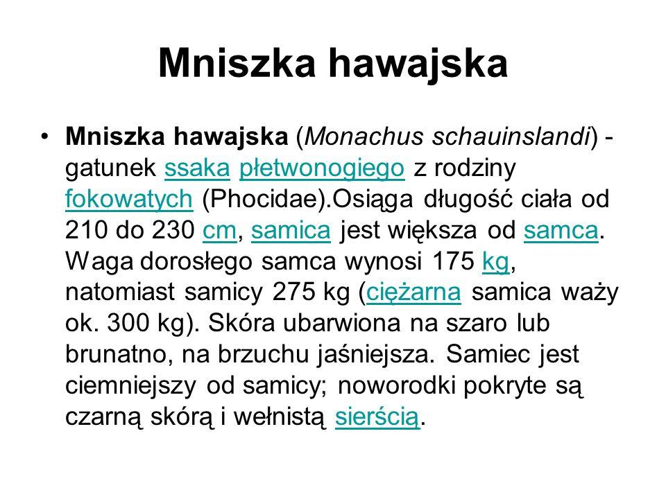 Mniszka hawajska Mniszka hawajska (Monachus schauinslandi) - gatunek ssaka płetwonogiego z rodziny fokowatych (Phocidae).Osiąga długość ciała od 210 do 230 cm, samica jest większa od samca.