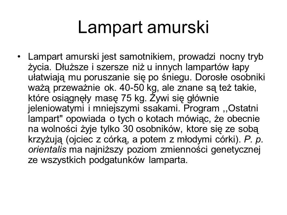 Lampart amurski Lampart amurski jest samotnikiem, prowadzi nocny tryb życia.