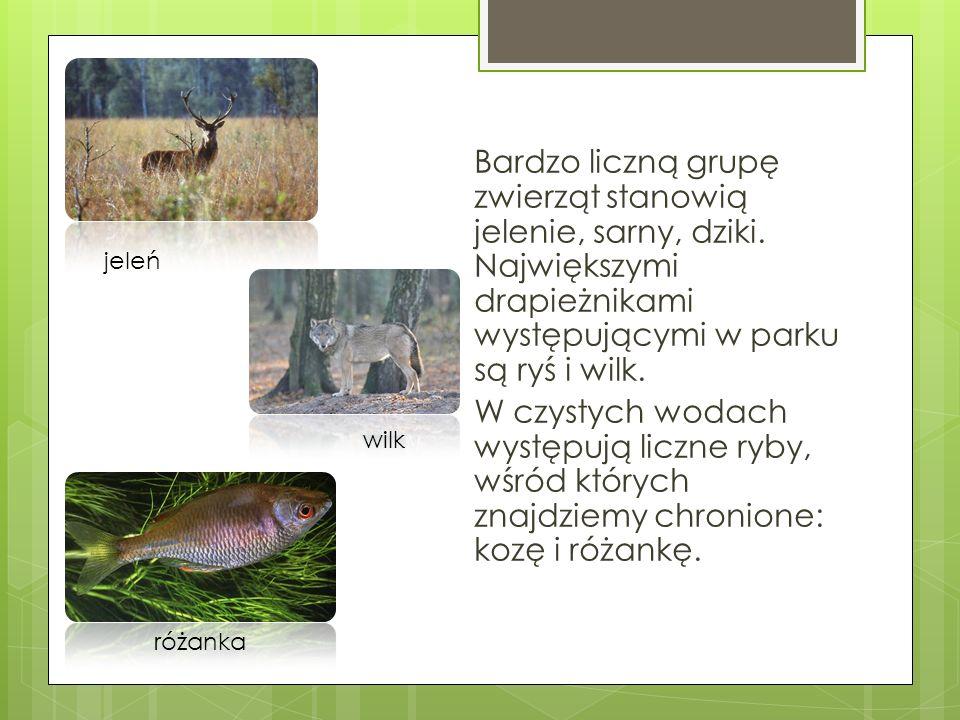 Bardzo liczną grupę zwierząt stanowią jelenie, sarny, dziki. Największymi drapieżnikami występującymi w parku są ryś i wilk. W czystych wodach występu