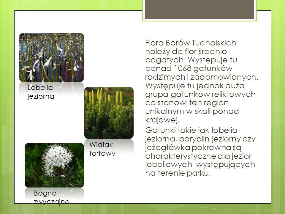 Flora Borów Tucholskich należy do flor średnio- bogatych. Występuje tu ponad 1068 gatunków rodzimych i zadomowionych. Występuje tu jednak duża grupa g